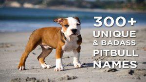 300+ Unique & Badass Pitbull Names for Girl & Boy Pups