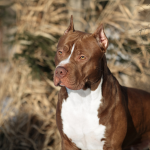 5 Most Adorable Top & Best Pitbull Breeds