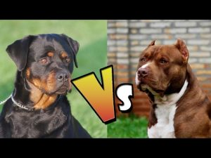 Pitbull Vs Rottweiler: Everything You Need to Know About Breeds