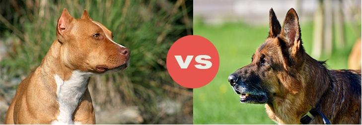 pitbull vs german shepherd