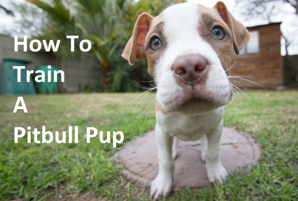 How to Train a Pitbull Pup