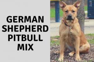 German Shepherd Pitbull Mix: Things You Should Know