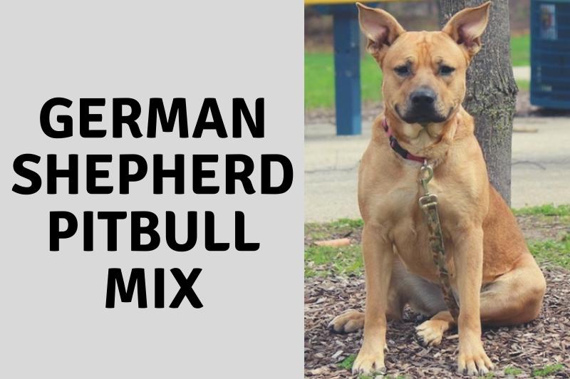 German Shepherd Pitbull Mix