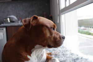 7 Amazing Pitbull Cross Dogs