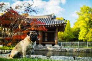 Are Pugs Aggressive? – Understand Your Pet More!